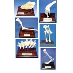 Osteo-Model Set (6 pieces 104,115-119)