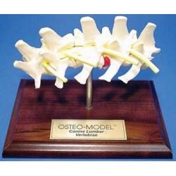 Osteo-Model - canine lumbar vertebrae