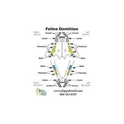 Feline Dentition Chart
