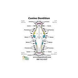 Canine Dentition Chart