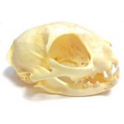 Cat skull (Natural bone)